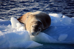 Leopard Seal on an Iceberg, Antarctica Royalty Free Stock Photos