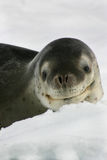 Leopard seal on an iceberg in Antarctica Royalty Free Stock Images