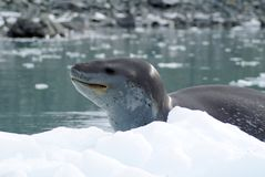 Leopard seal on an iceberg. In the frigid waters of Antarctica stock photography