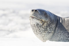 Leopard Seal on icerberg, Antarctica. Leopard Seal (Hydrurga leptonyx) raising head with nostrils open, resting on a bergy bit (iceberg). Cierva Cove, Antarctic Stock Image