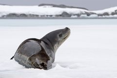 Leopard seal looking up. Leopard seal resting on ice and looking up Royalty Free Stock Images