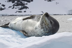 Leopard seal lying on the ice against the backdrop of the mounta Royalty Free Stock Images