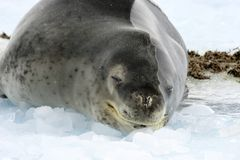 Leopard Seal in Oceberg. A Leopard Seal on an iceberg in Hope Bay Antarctica Stock Images