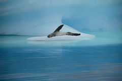 Leopard seal, Paradise Island, Antarctica Stock Photography