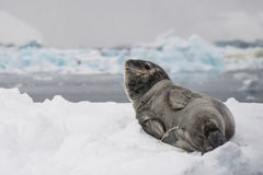 Leopard seal pees. This shot was made during expedition to Antarctica in January 2012 Stock Photography