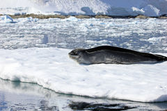 Leopard seal resting on ice floe Royalty Free Stock Photography