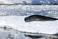 Leopard seal resting on ice floe Stock Photos