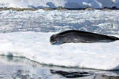 Leopard seal resting on ice floe. Antarctic peninsula Stock Photos