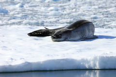 Leopard seal resting on ice floe. Antarctic peninsula Stock Images