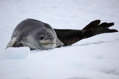 Leopard seal resting on ice floe, Antarctica. Leopard seal - top predator of Antarctica - Antarctic Peninsula Stock Image