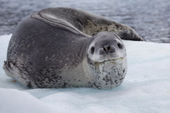 Leopard seal resting on ice floe, Antarctica Royalty Free Stock Photo