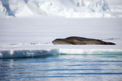 Leopard seal sitting on a iceberg stock photo