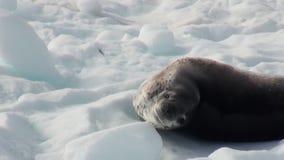 Leopard Seal sleeping on an Iceberg in Antarctica. stock video