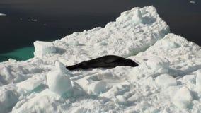 Leopard Seal sleeping on an Iceberg in Antarctica. stock video footage