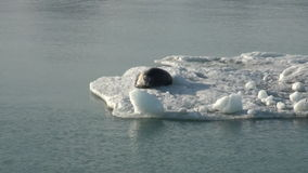 Leopard Seal sleeping on an Iceberg in Arctic. stock footage
