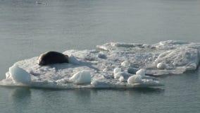 Leopard Seal sleeping on an Iceberg in Arctic. stock video