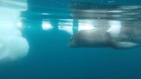 Leopard seal under water. In Antarctica stock footage