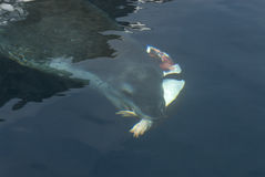 Leopard seal under water Royalty Free Stock Image