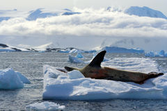 Leopard seal waving in Antarctica. Leopard seal resting on floating ice and waving Stock Images