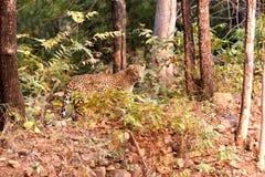 Leopard searching. Leopard (Panthera pardus) searching at Tadoba wildlife sanctuary, Chandrapur, Maharashtra, India Royalty Free Stock Photography