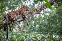Leopard in seinem Lebensraum Lizenzfreie Stockbilder