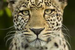Leopard in the serengeti national reserve Stock Image