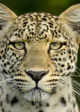 Leopard in the serengeti national reserve Royalty Free Stock Image
