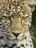 Leopard in the serengeti national reserve Royalty Free Stock Photos