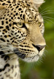 Leopard in the serengeti national reserve Royalty Free Stock Photo
