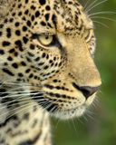 Leopard in the serengeti national reserve Stock Photo