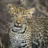 Leopard in Serengeti, Tanzania, Africa Stock Photos