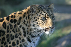Leopard In The Shade. Amur Leopard, Panthera pardus orientalis royalty free stock photography