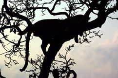 Leopard shadow. Leopard is wathcing the sundown on a tree Stock Photos