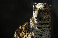 Leopard in shadows Royalty Free Stock Photos