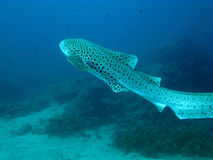 Leopard shark. Stock Images