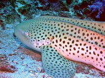 Leopard Shark Stock Images
