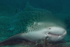 Leopard shark Royalty Free Stock Images