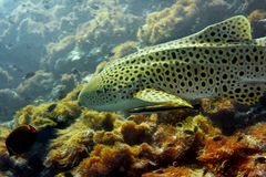 Leopard shark Royalty Free Stock Image