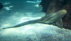 Leopard Shark also known as Zebra Shark royalty free stock photo