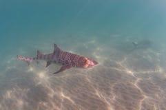 Leopard Shark Stock Photos