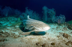 Leopard shark. And Remora resting on the Seafloor at Anemone Reef, Krabi,Thailand royalty free stock photo