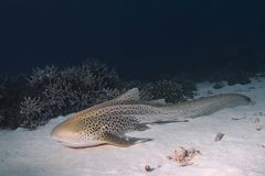 Leopard shark sleeping on on sand underwater in oc. Leopard shark resting on a sandy bottom in Similan Islands, thailand Royalty Free Stock Photo