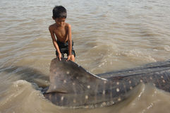 LEOPARD SHARK STRANDED. Leopard shark ( rhincodon typus ) with length of about 7 meters and width of 2.5 meters stranded because a net fishermen trapped on the royalty free stock images