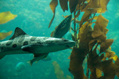 Free Leopard Shark Triakis Semifasciata Is A Species Of Carpet Shark Stock Photo - 98833550