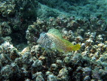 Leopard or Shortbodied blenny Fiji. On Coral outcrop royalty free stock photo