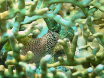 Leopard or Shortbodied blenny, Male. Inside of Fire Coral Stock Photo