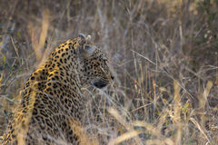 Leopard side profile in long grass 1 Stock Photos