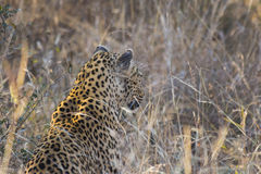 Leopard side profile in long grass 2 Royalty Free Stock Image