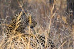 Leopard side profile in long grass 4 Stock Photography