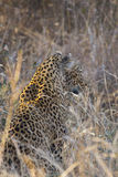 Leopard side profile in long grass 3 Royalty Free Stock Photo